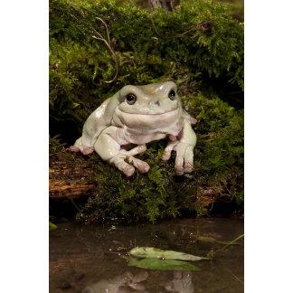 Central PA, USA, White's Treefrog; Litoria