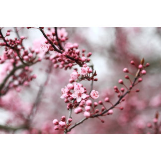 Blossoms in Spring Photo