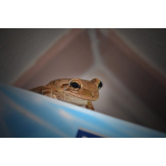 tree frog looking at viewer on blue