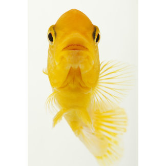 Also known as Comet-tailed goldfish. Hardy