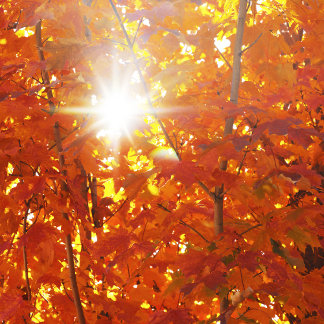 """""""Autumn Leaves in Sunlight Photo Poster Print"""""""