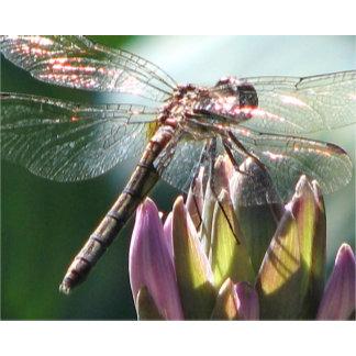 Dragonfly on Hosta Bloom