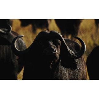 * Buffalo