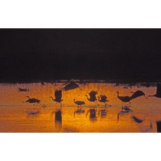 Sandhill Cranes Grus canadensis) Bosque Del 2