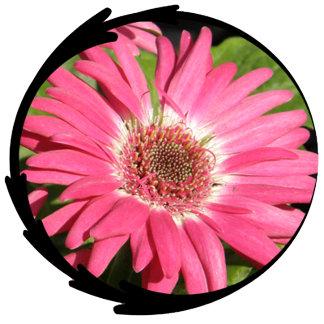 Pink Gerbera Daisy Photo