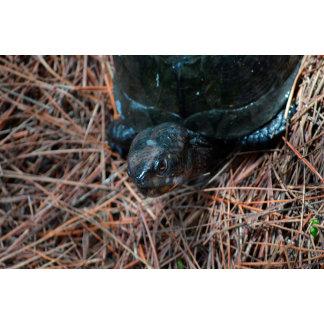 red eyed box turtle reptile animal