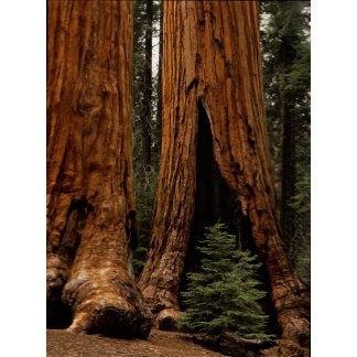 Redwood Trees, Sequoia National Park.