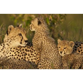 Cheetah, Acinonyx jubatus, Upper Mara, Masai