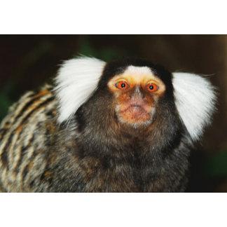 * Ape, Monkey, Gorilla, Primates