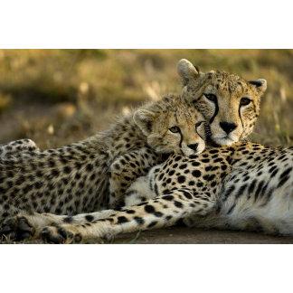 Cheetah, Acinonyx jubatus, with cub in the Masai