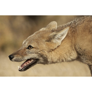 Torres del Paine, Chile. Patagonian Gray Fox,