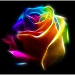 Beautiful Rose of Colors 1.png