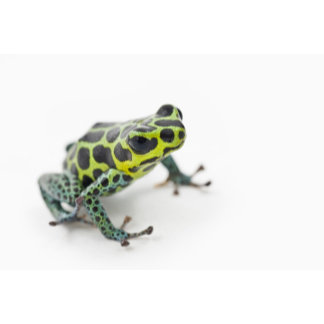 Black Spotted Green Poison Dart Frog