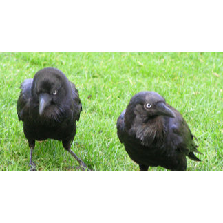 Black crows being sneaky!