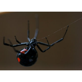 A Southern Blackwidow Spider