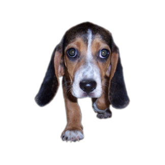 Beagle Puppy Walking Front View