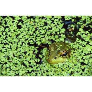 Bullfrog (Pyxicephalus adspersus) in duckweed