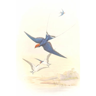 Goulds Swallow Birds