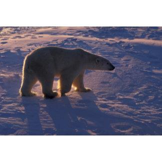 Adult male polar bear