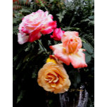 roses33 copy.jpg