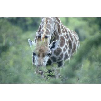 Giraffe (Giraffa camelopardalis) feeding on
