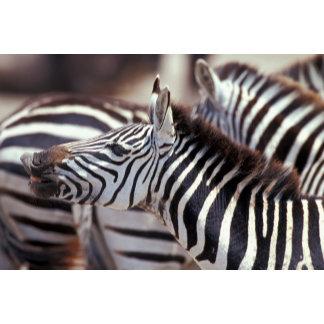 Africa,Tanzania,herd of zebras