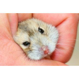 Cute Hamster Face 1