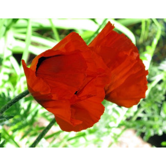 Two Oriental Poppies