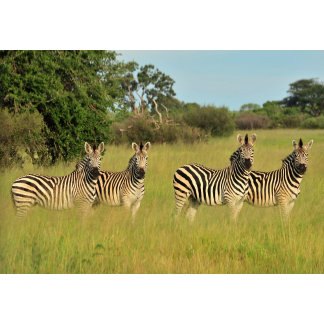 A Herd of Zebras Looking On Curiously