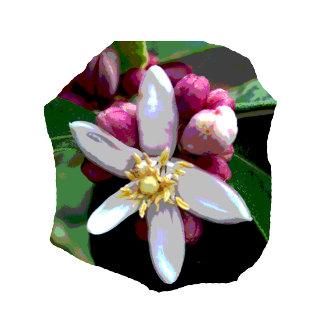 Citrus Lemon Blossom Flower Poster Image