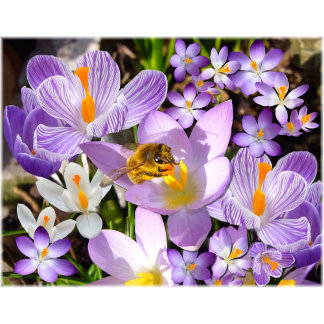 Spring Flowers ~ Crocus