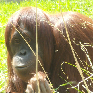 Pretty orangutan on t-shirts and gifts