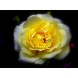 Rose Blurred.jpg