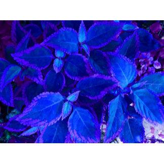 Blue Colorized plant coleus