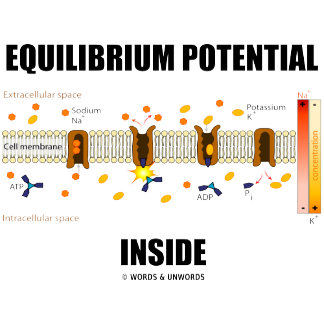 Equilibrium Potential Inside (Active Transport)