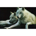 S166_Polar_Wolf-Heildelberg_Zoo_2005[1].jpg