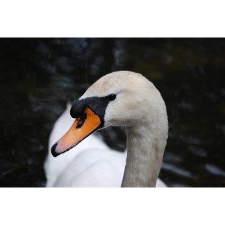 'Sasha' Swan