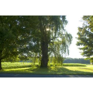 Morning Willow
