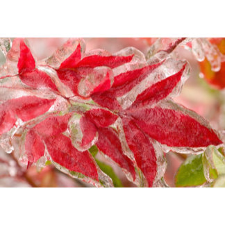 A winters ice storm covering the leaves of