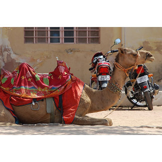 Camel and motocycle