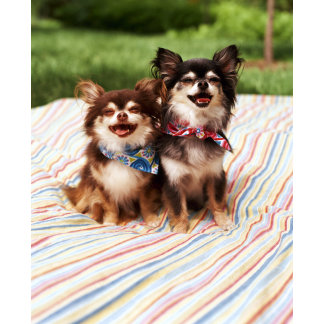 """chihuahua's on blanket poster print"""