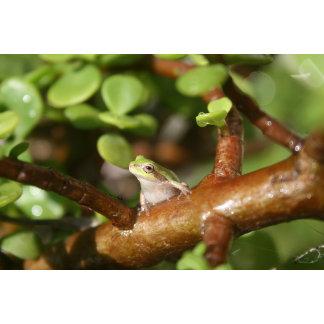 tree frog looking sideways in bonsai tree photo