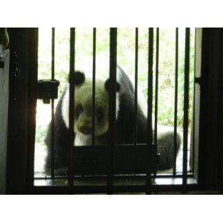 Panda Bear Behind Bars