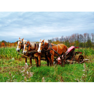 DRAFT HORSES IN THE FIELD