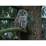 barred-owl.jpg