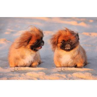 Cute Pekingese Dogs