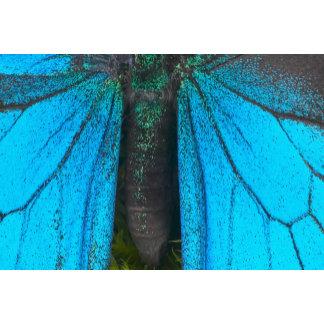 Blue mountain swallowtail (Papilio ulysses)