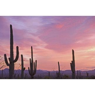 USA, Arizona, Saguaro National Park. Saguaro