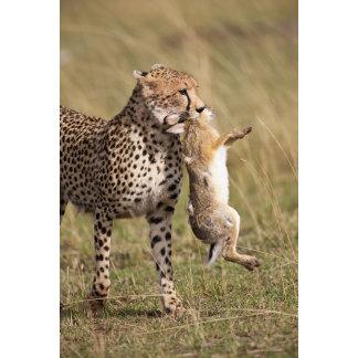 Cheetah (Acinonyx jubatus) with jackrabbit kill,