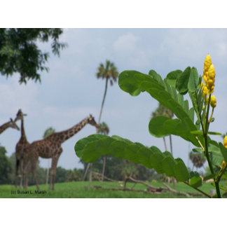 Giraffes and plants, focus on foreground photo